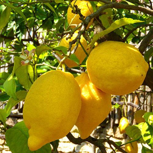 Sorrento-Limoni